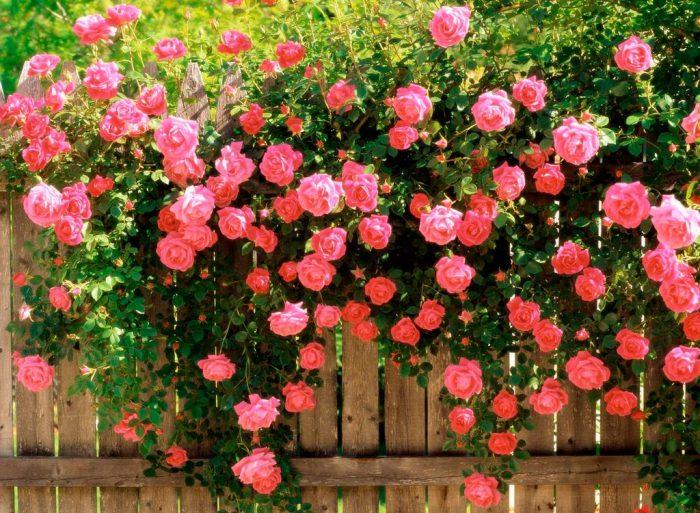 Полуплетистые розы-шрабы: лучшие сорта для сада, особенности ухода