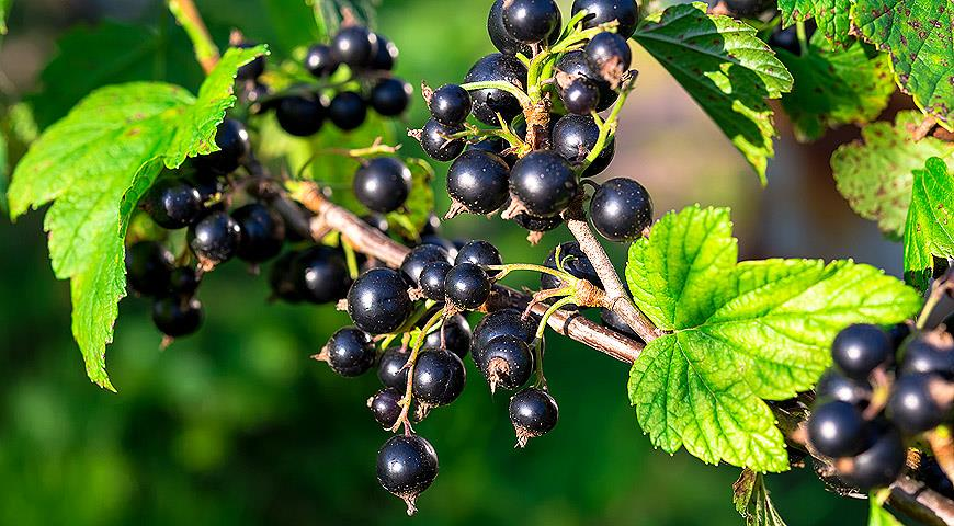 Обрезайте кусты черной Смородины моим способом и получите завидный Урожай ягод в следующем году