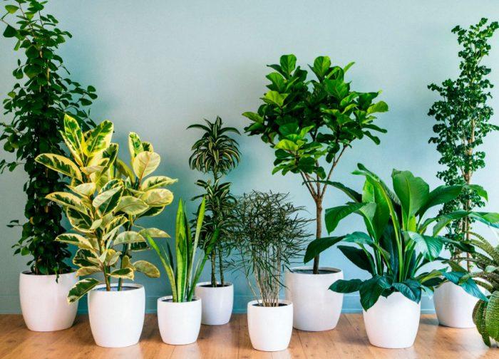 Комнатные растения, очищающие воздух…